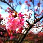 河津桜「みなみの桜」